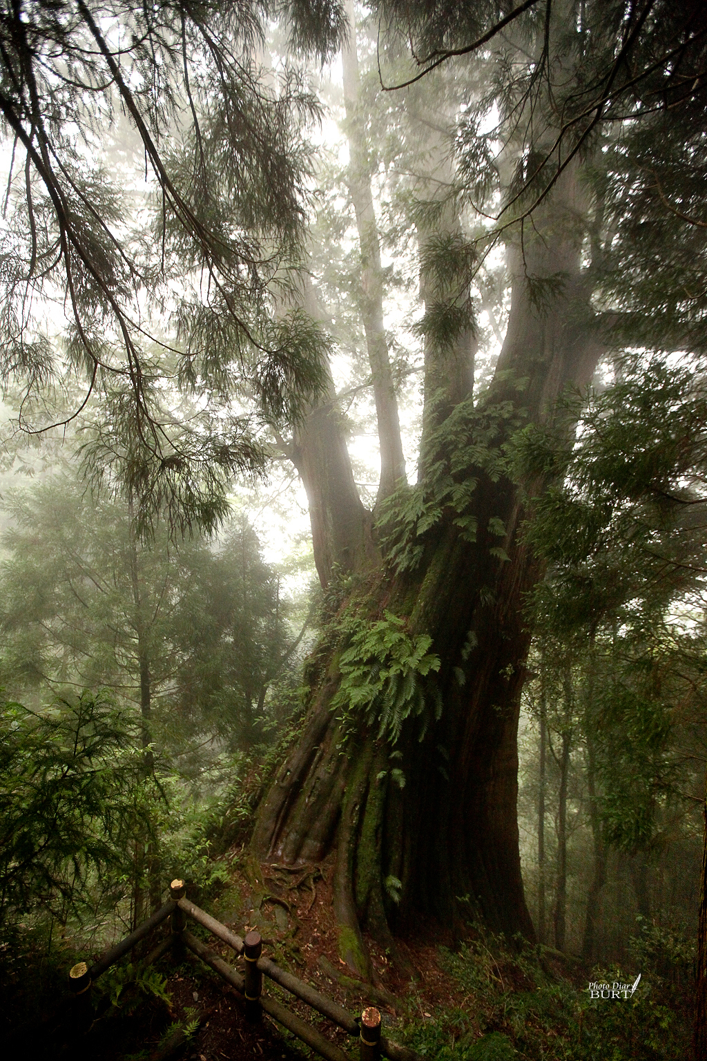 檜山巨木林步道 二號巨木