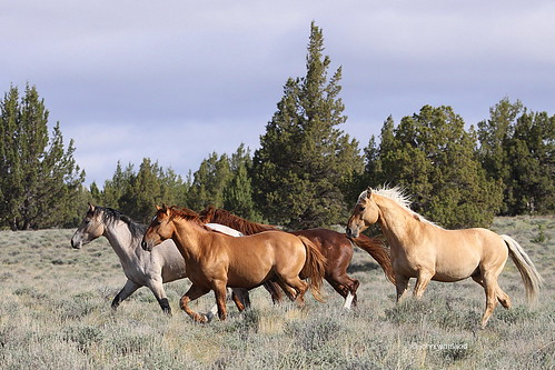 Mustangs. Palomino Buttes HMA