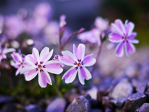 Pretty Little Flowers