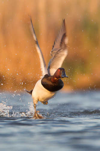 Canvasback Runway by Jeff Dyck