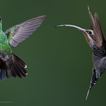 L-R: Green-crowned Brilliant (Heliodoxa jacula) with Green Hermit, Phaethornis guy, Hummingbird