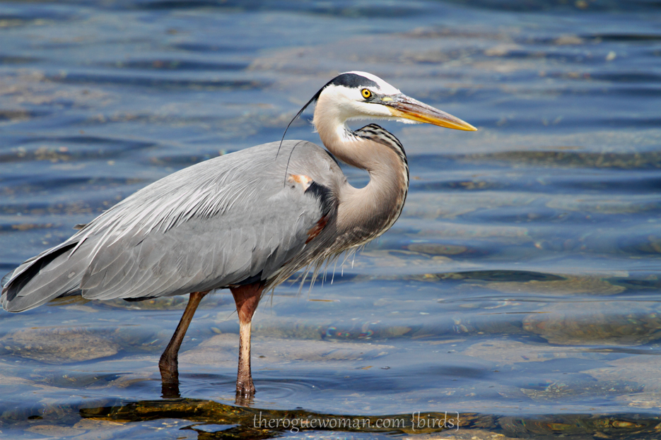 051912_bird_greatBlueHeron