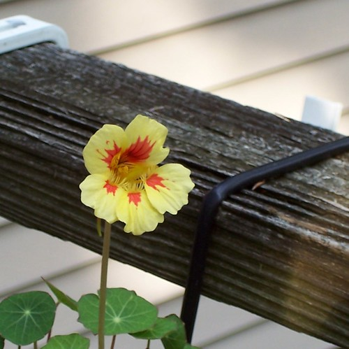 Nasturtium 'Mounding Vanilla Berry'