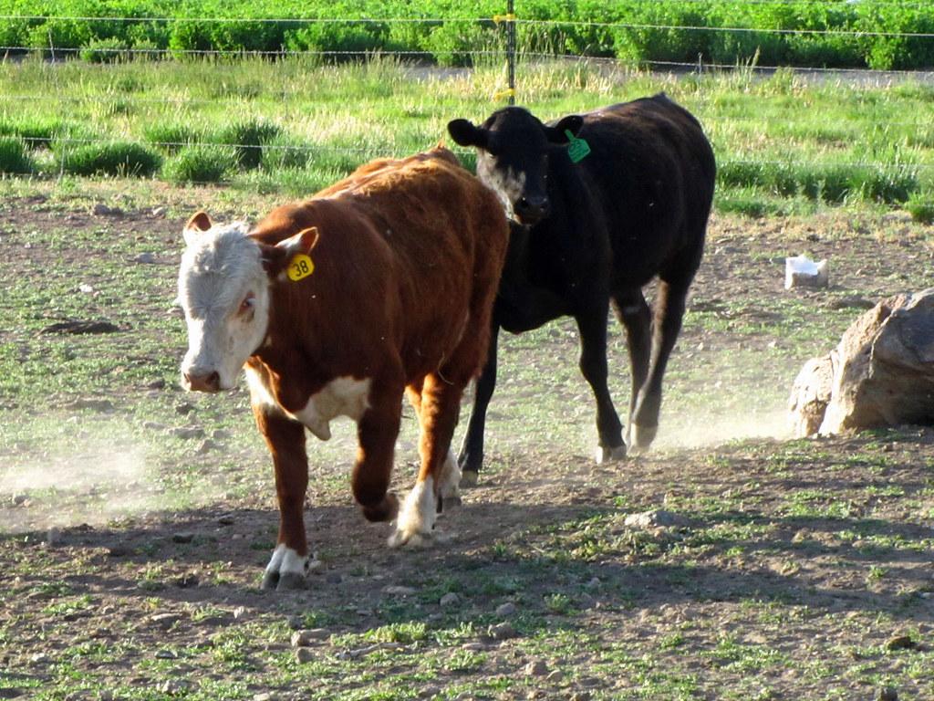 Herfy the Bull