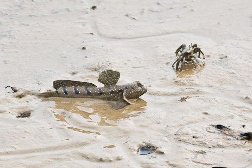 Mudskipper vs Crab