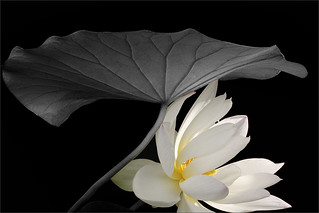 White Lotus flower - IMG_7134-bw-1-1000