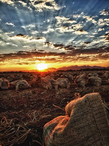 無料写真素材, 自然風景, 朝焼け・夕焼け, 田園・農場, 薄明光線