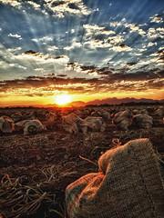 [フリー画像素材] 自然風景, 朝焼け・夕焼け, 田園・農場, 薄明光線 ID:201206211800