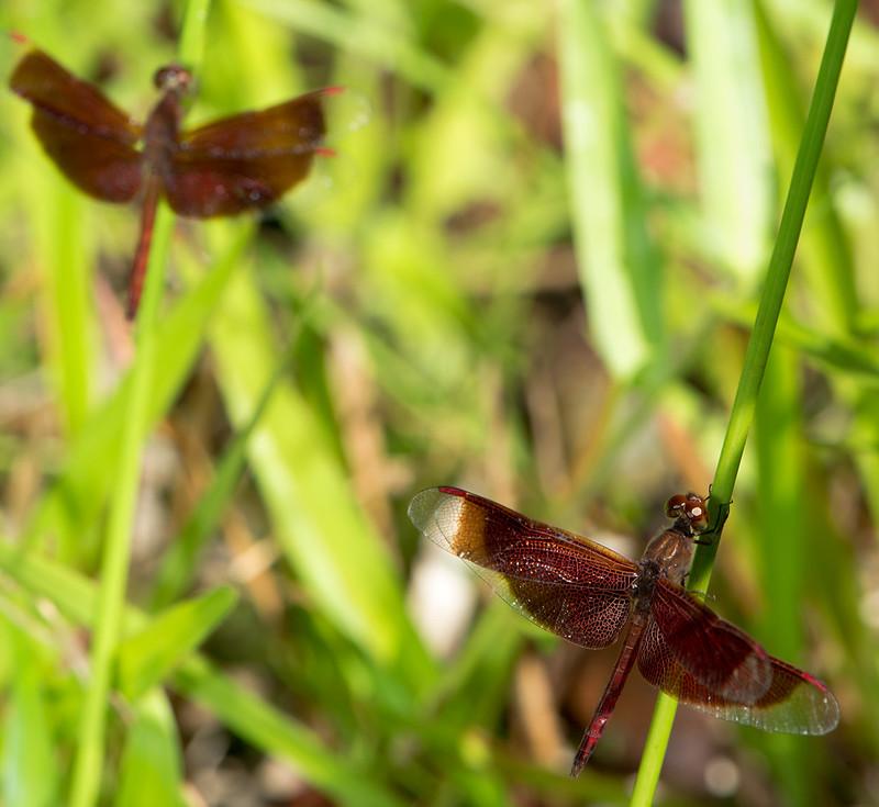 Dragonflies in Brunei