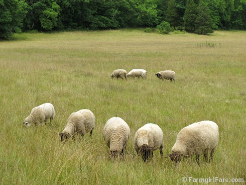 (5) Sheep grazing in the front field - FarmgirlFare.com