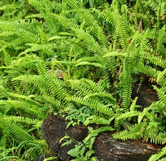 腎蕨。(圖片來源:林務局)