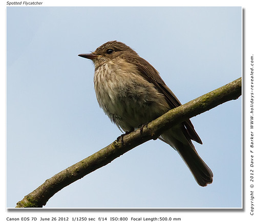 IMG_4368 Spotted Flycatcher by Just Daves Photos