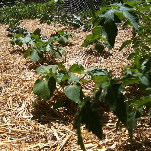 My garden is 43' x 7'