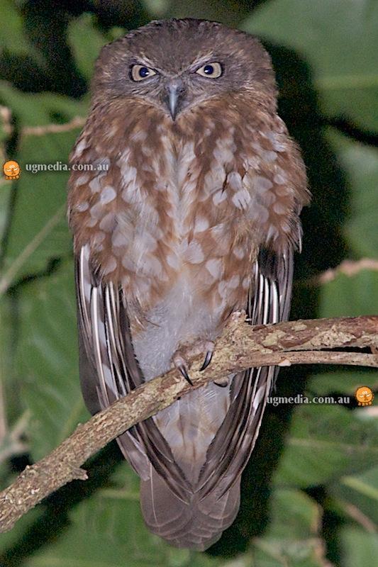 Southern boobook (Ninox novaeseelandiae lurida)
