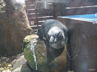 ペンギン 亜成鳥 京都水族館