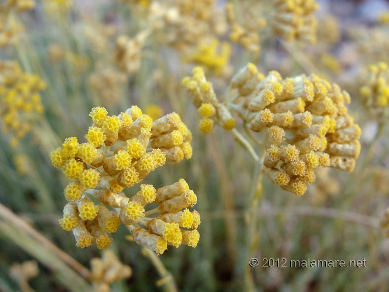 picking immortelle at dawn flowers