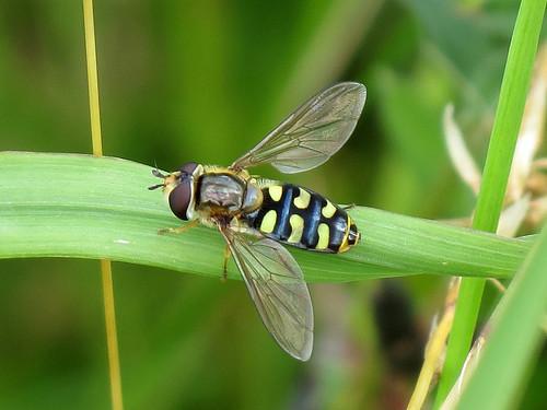 Hoverfly - Eupiodes luniger?
