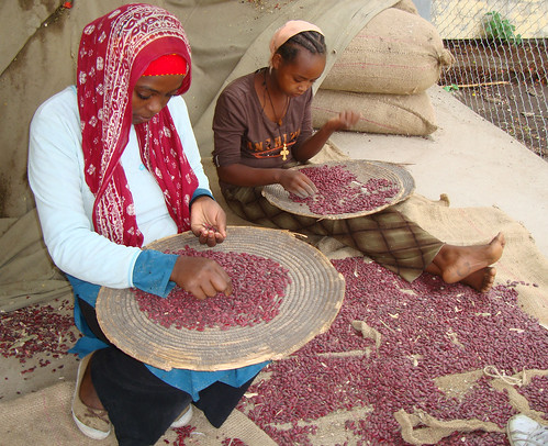 Young women sorting out beans after a harvest in Ethiopia