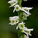 Spiranthes lacera variety gracilis (Northern slender ladies'-tresses orchid)
