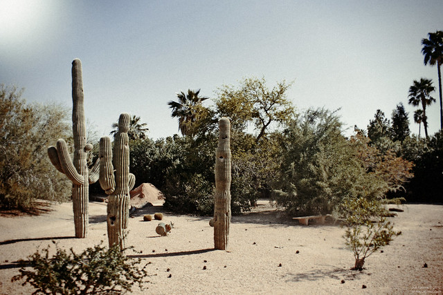 Cactus and Palms, Railroad Park, Scottsdale, Arizona
