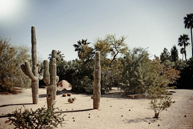 Cactus and Palms, Railroad Park, Scottsdale, Arizona