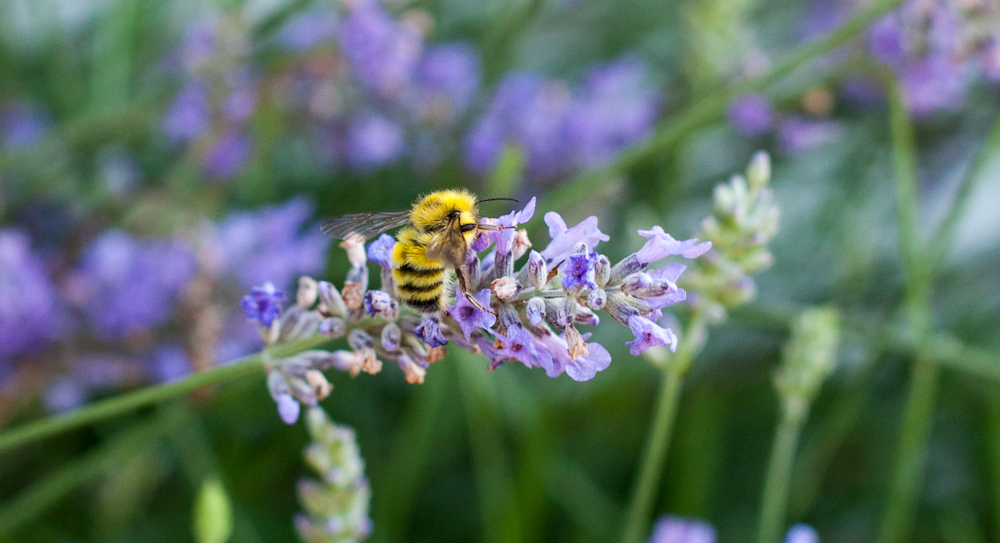 Honey bee enjoying the lavender
