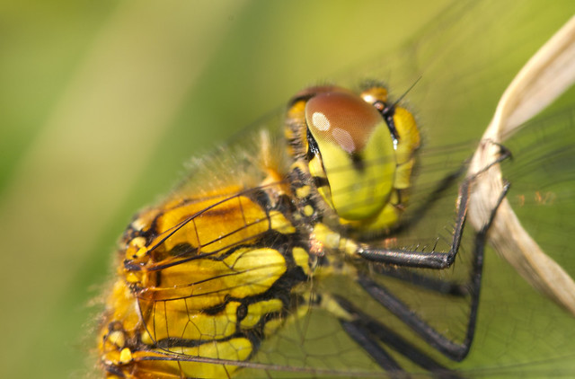 ruddy darter close up