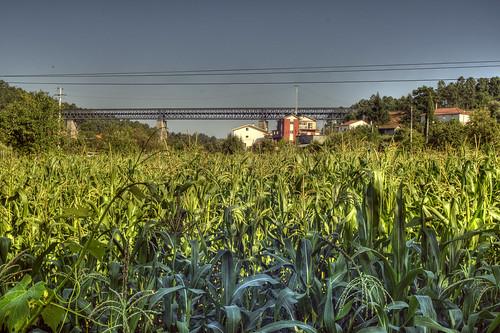 corn, as far as the eye can see