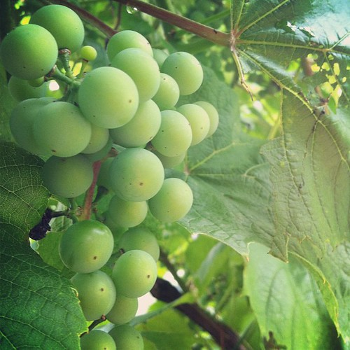 it's going to be an abundant grape harvest this season #organicgarden #urbangarden #maine #lughnasadh