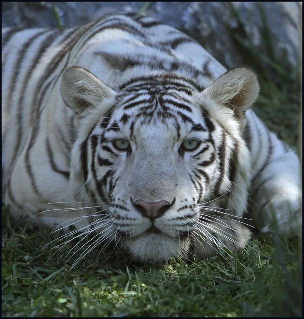 white siberian tiger - photo #29