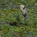 Great Blue Heron_2677.jpg