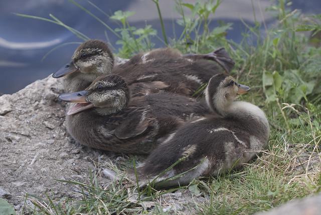 triplet quack
