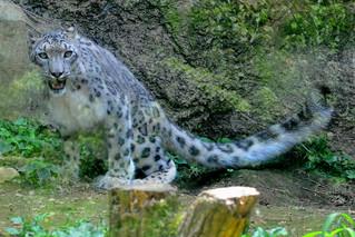 Image of  ユキヒョウ  near  Hino. zoo 動物園 tamazoo tamazoologicalpark 多摩動物園