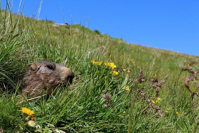 Header of Marmota