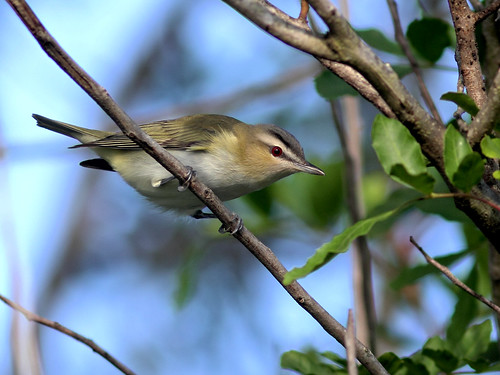 Red-eyed Vireo HDR 20160917