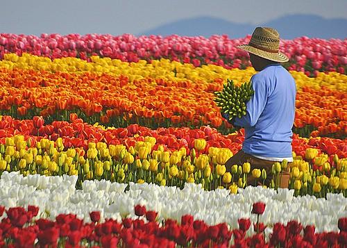 04-23-12 Tulip Harvest by roswellsgirl