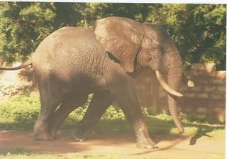 Un éléphant à Dédougou