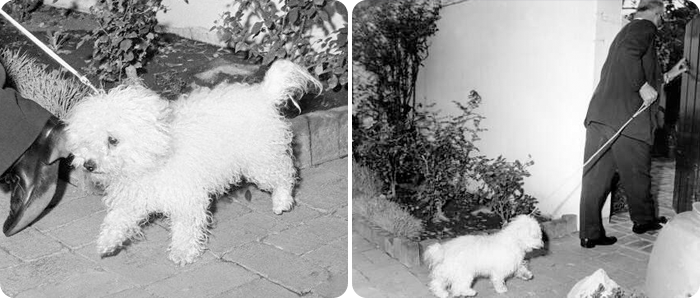 Marilyn Monroe's dog, Maf