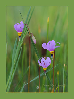 Shooting Stars ..one of my favorite wildflowers