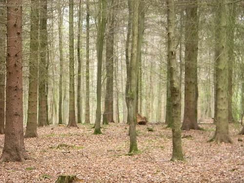 Conifer plantaion