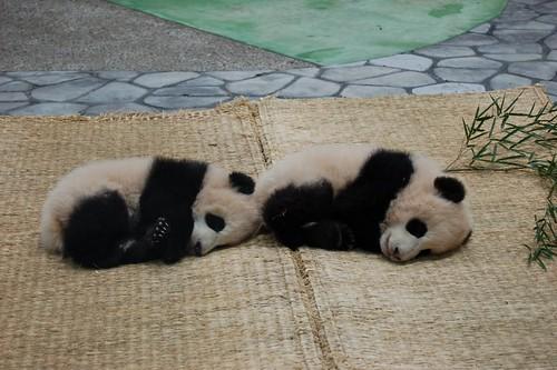 twin baby pandas 双子の赤ちゃんパンダ