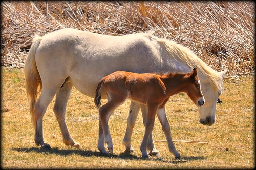My First Day.. a day old wild horse with his mom