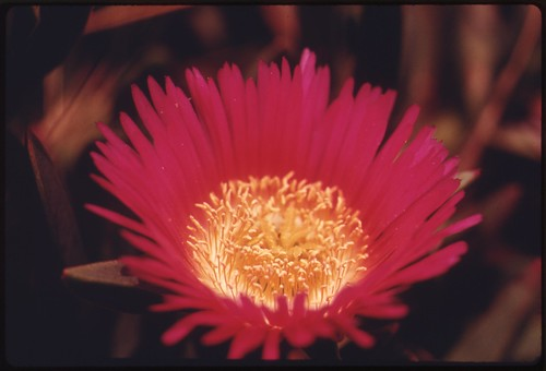 Closeup of a flower in the Malibu Canyon area of the Santa Monica Mountains near Malibu, California, May 1975