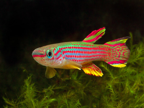 The Tropical Tank • View topic - fish and cherry shrimp for sale ...