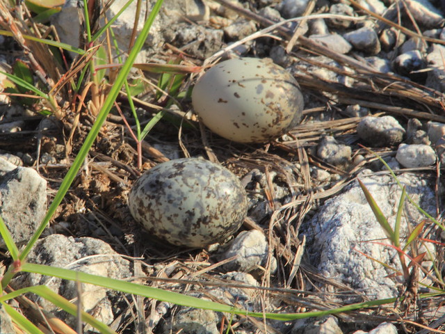 Common Nighthawk eggs 20120613