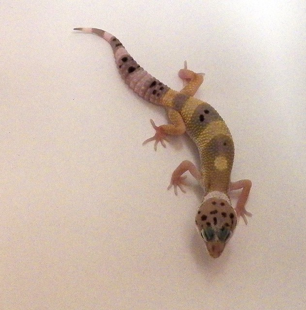 Any fellow reptile keepers? (breeders, eggs, snakes, breed) - Pets