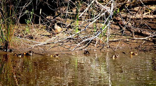 Mothers' Day Ducklings