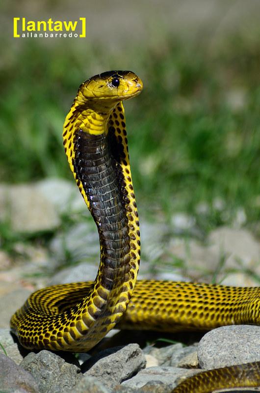 Baras Visitor: Philippine Cobra