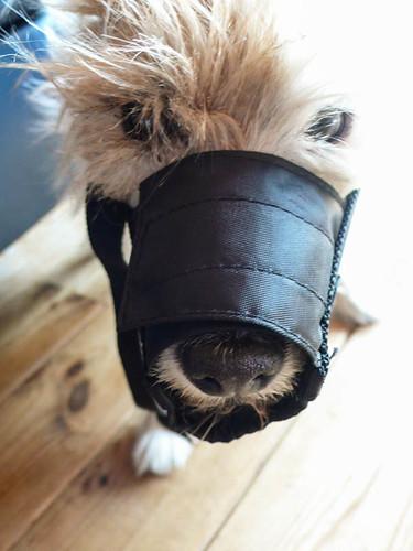 Muzzled dog
