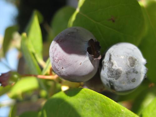 成熟的藍莓